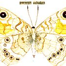 Pararge Schakra (Common Wall Butterfly) by Carol Kroll