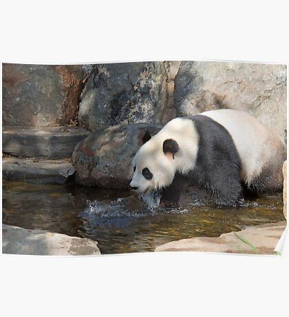 Giant Panda, Adelaide Zoo, South Australia  Poster