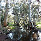 Gums In Swamp Flinders Ranges South Australia by Deirdreb