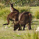Grazing Kangaroos at Flinders Chase National Park, Kangaroo Island by Dan Monceaux