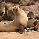 Cape Fur Seal ~ Namibia by ChrisCoombes