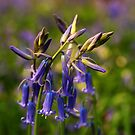 Bluebells by JEZ22