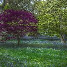 Winkworth Bluelbells by EventHorizon