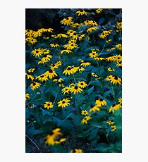 Black Eyed Susans Photographic Print