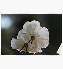 White rose 0057 Poster