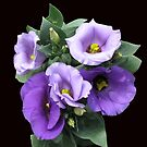 Sunlit Purple Lisianthus on Black Background by BlueMoonRose