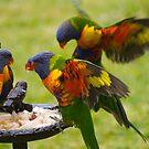 Rainbow lorikeets by Anna D'Accione