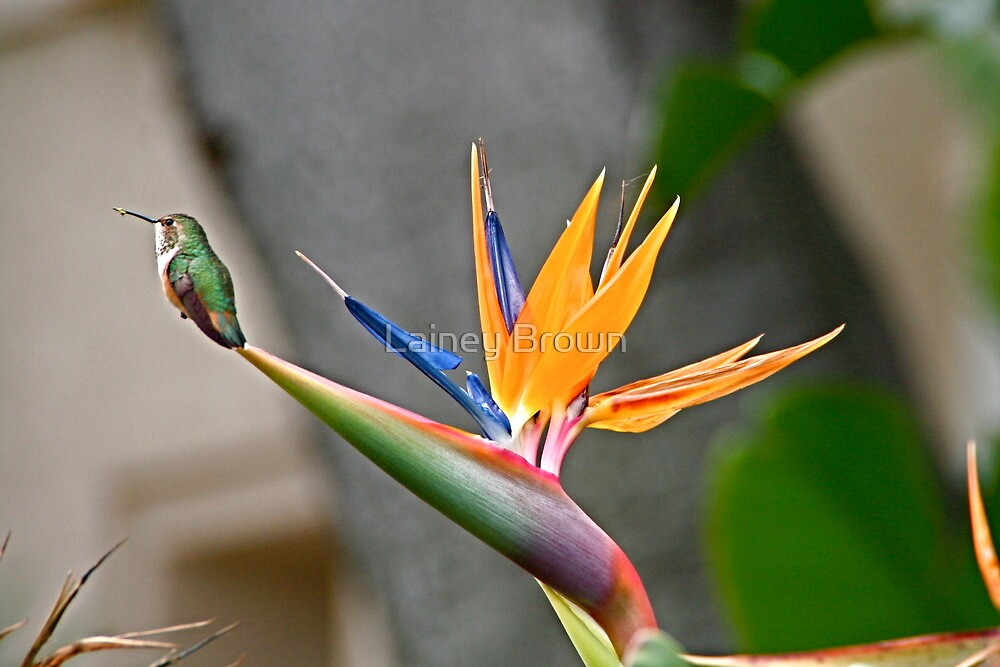 Quot Hummingbird On Bird Of Paradise Quot By Lainey Brown Redbubble