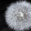 Dandelion puff by Oceanna Solloway