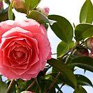 The Shy Camellia by Belinda Osgood