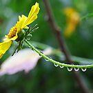 Daisy chain? by Stecar