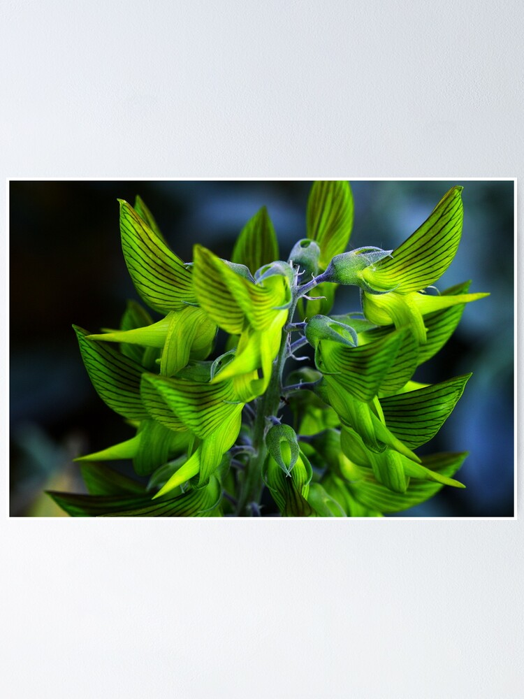 Alternate view of Crotalaria cunninghamii  Poster