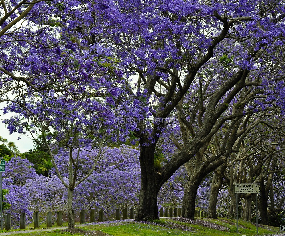jacarandas in bloom by gary roberts