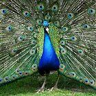 «Peacock in full splendour» de Joanne Emery
