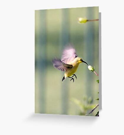 Dinner on the run - sunbird feeding Greeting Card