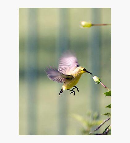 Dinner on the run - sunbird feeding Photographic Print
