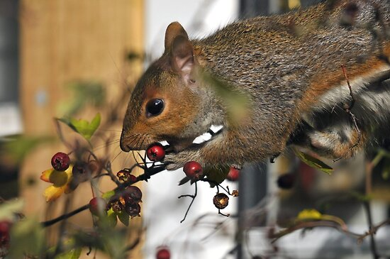 grey squirrel caught in the act by Grandalf