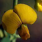 Florida Wild Flower -- Rattle-Box by BobJohnson