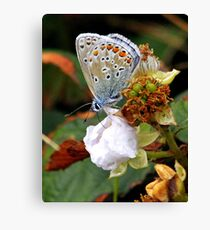 common blue butterfly Polyommaturus icarus Canvas Print