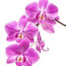 Orchid - 70 by Mikhail Palinchak