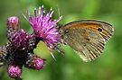 Meadow Brown Butterfly by John Keates