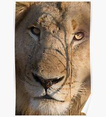 Majingilane - Male Lion - Close Up ! Poster