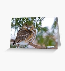 Sleeping Northern Saw Whet Owl - Ottawa, Ontario Greeting Card