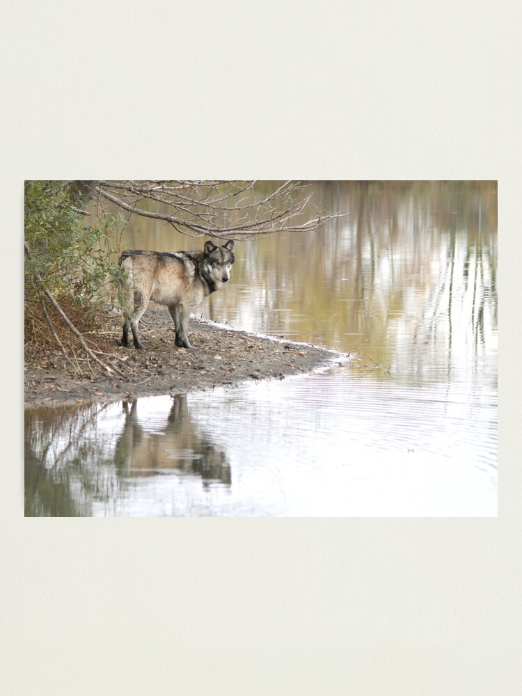 Alternate view of Reflections of a wolf Photographic Print