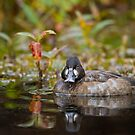 Female Scaup  by Daniel  Parent