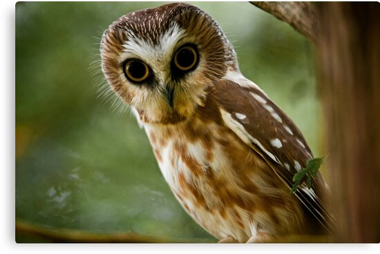 Northern Saw Whet Owl On Branch by Michael Cummings