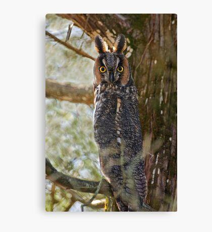 Long Eared Owl - Amherst Island, Ontario Canvas Print