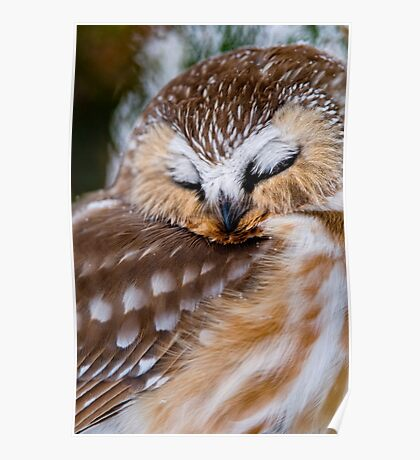 Northern Saw Whet Owl - Ottawa, Canada Poster