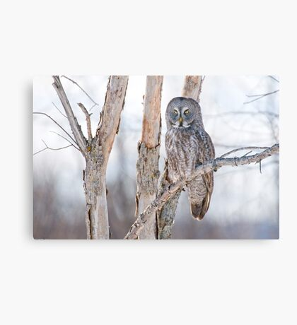Great Grey Owl - Dunrobin Ontario Metal Print