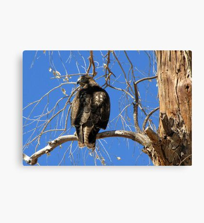 Red-tailed Hawk (Juvenile) ~ Talk to the tail! Canvas Print