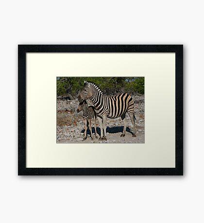 Zebra and Colt Framed Print