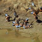 Black-throated Finches  by naturalnomad