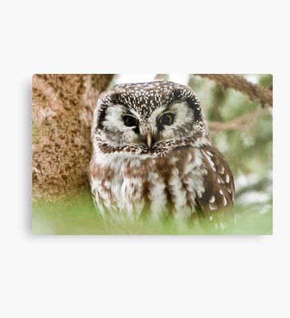 Boreal Owl Metal Print