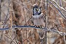 Northern Hawk Owl by Michael Cummings