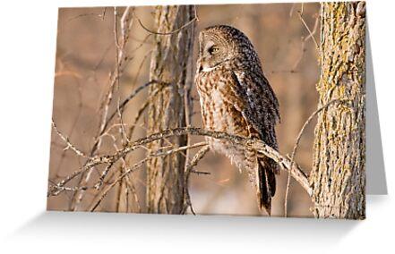 Great Grey Owl - Dunrobin Ontario by Michael Cummings