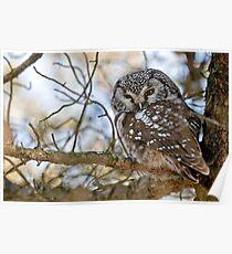 Boreal Owl Poster