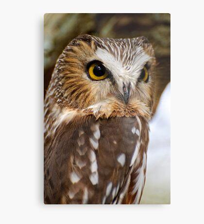 Saw Whet Owl - Amherst Island, Ontario Metal Print