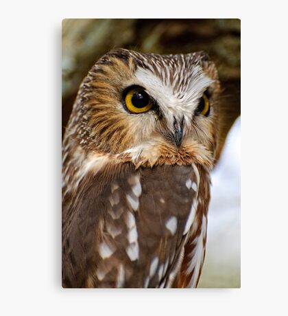 Saw Whet Owl - Amherst Island, Ontario Canvas Print