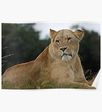 Lioness at woburn Poster