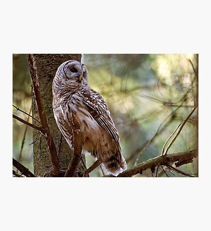 Barred Owl in Pine Tree - Brighton Ontario Photographic Print