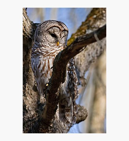 Barred Owl in Tree - Brighton, Ontario Photographic Print