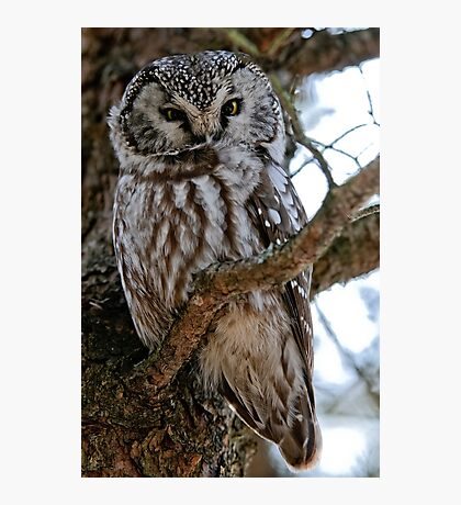 Boreal Owl - Amherst Island, Ontario - 3 Photographic Print