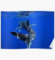 Whale Shark 2 - Ningaloo Reef Poster
