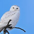 Snowy Owl in Tree by Michael Cummings