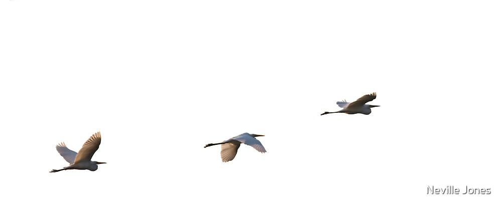 White Egrets in flight, Okavango Delta, Botswana by Neville Jones