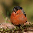 Bullfinch by Peter Wiggerman